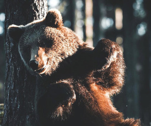 animal, bear, and forest image