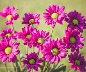 daisy, nature, and fine art nature image