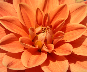 color, dahlia, and detail image