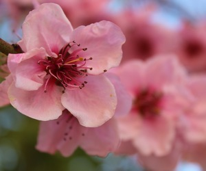 flower, peach, and pink image