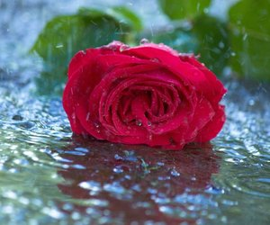 rain, flowers, and rose image