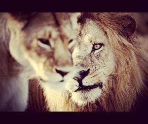 love and lion image