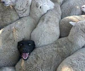 dog, animal, and sheep image