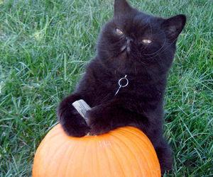 cat, pumpkin, and black image