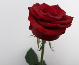 photography, red roses, and roses image