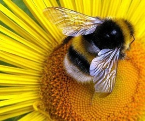 bee, yellow, and flowers image