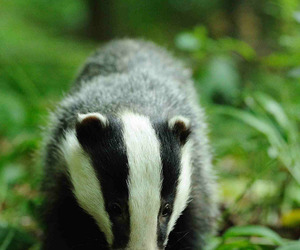 animals, wildlife, and badgers image