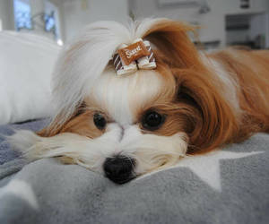 bow, maltese, and dog image