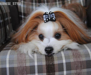 bow, valentines day gift, and yorkie image