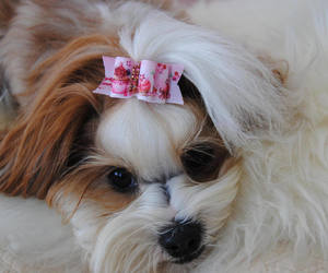 bow, yorkie, and unique dog bow image