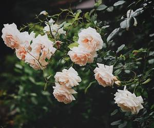 flowers, nature, and roses image