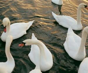 theme, Swan, and animal image
