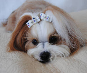 bow, yorkie, and dog hair bow image