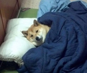 dog, shiba inu, and sleepy image
