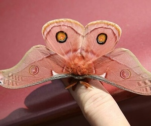 butterfly, pink, and animal image