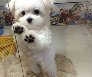 dog and maltese image
