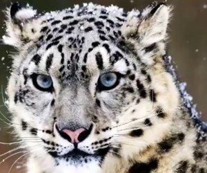 animal, tiger, and blue image