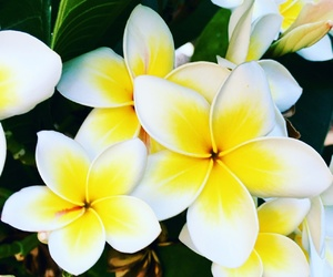 plumeria, flowers, and frangipani image