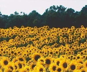 flower, header, and sunflowers image