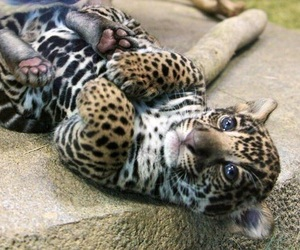 animal, baby, and leopard image