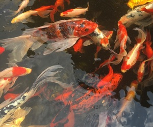 aesthetic, fish, and koi image