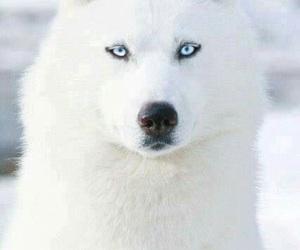 dog, white, and husky image