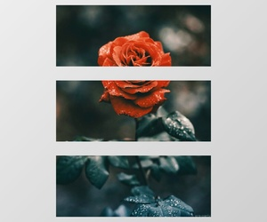 beauty, rose, and my edit image