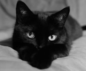 cat, black, and black cat image