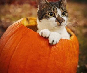 cat, autumn, and pumpkin image