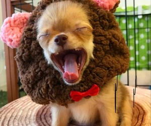 chihuahua, costume, and crying image