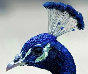 blue, gorgeous, and peacock image