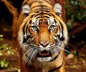 canon, melbourne, and tigre image