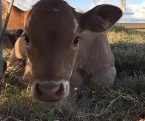 animal, moo, and sweet image