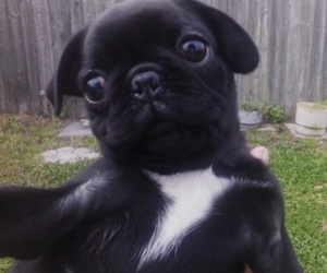 black, outdoors, and pug image