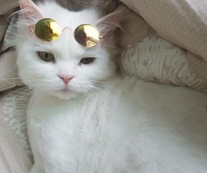 cat, kitty, and sunglasses image