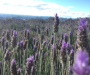 brazil, flower, and lavanda image