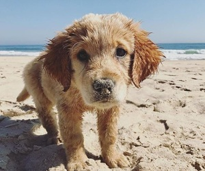 adorable, puppy, and goldenretriever image