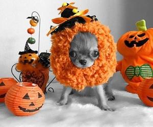 chihuahua, costume, and orange image