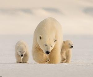 bear, animals, and Polar Bear image