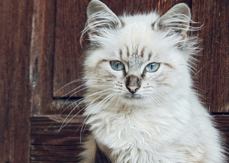 blue eyes, cat, and fluffy image