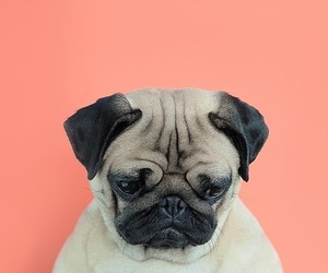 dog, pug, and wallpaper image