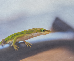 amphibian, lizard, and jeanette's photography image