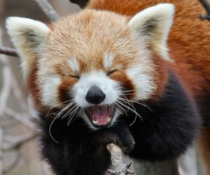 cute, animal, and Red panda image