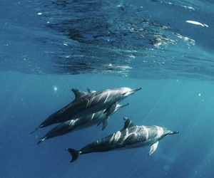 animals, underwater, and dolphins image
