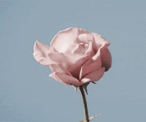 rose, flowers, and gif image