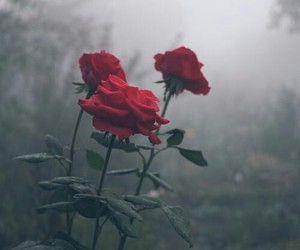 roses and tumblr image