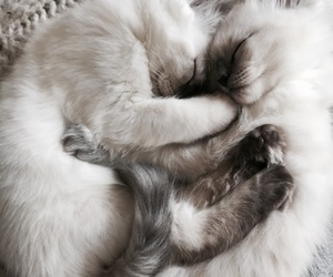 animals, cats, and fluffy image