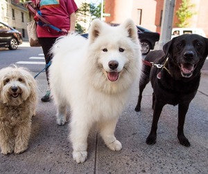 animals, Samoyed, and dogs image