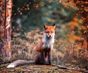 autumn, fox, and animals image