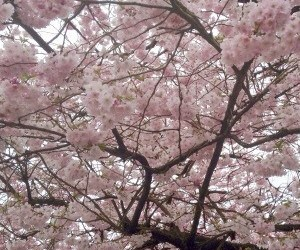 aesthetic, flowers, and cherry blossoms image